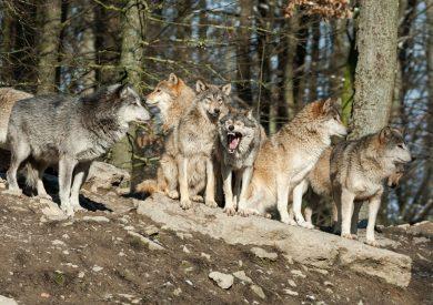 Dossier: Der Wolf in Niedersachsen